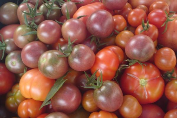 Die Vielfalt bei Tomaten ist riesig