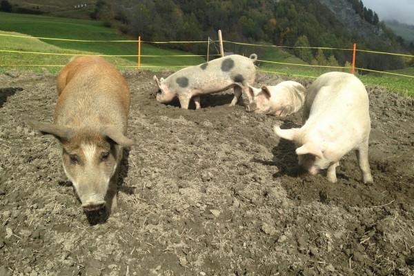 Schweine auf dem Acker